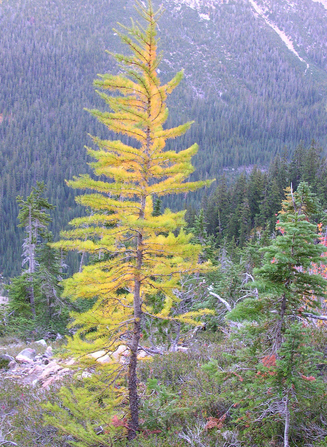 Larch in the North Cascades. Credit: brewbooks, flickr CC