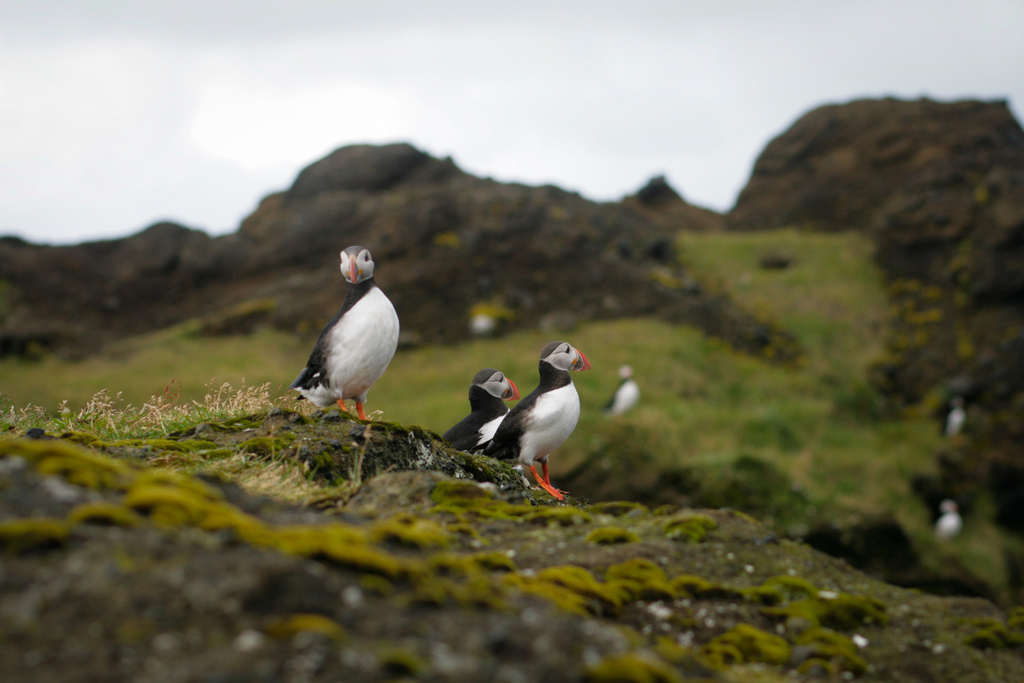 Iceland with kids visiting puffins
