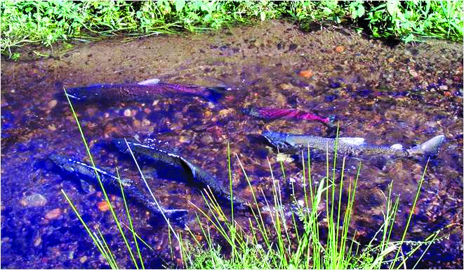 Salmon Spawning at Cottage Lake Creek