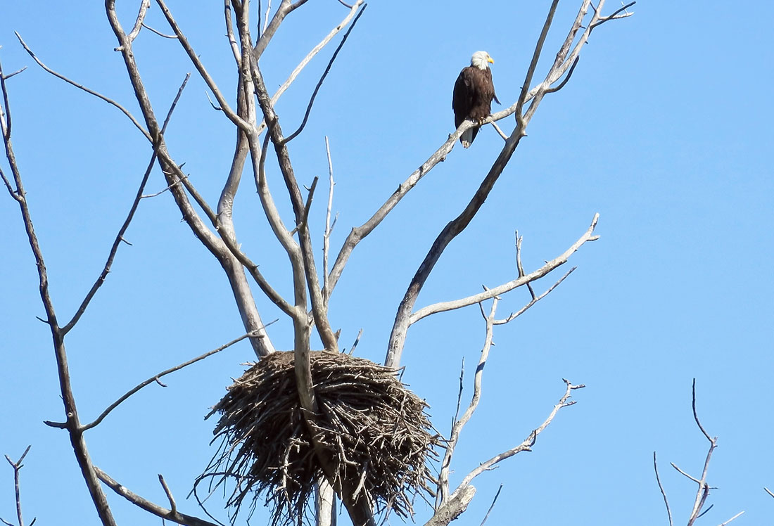 Eagle's nest. Photo credit: Mike Hamilton