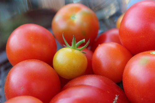 Tomatoes grown in a Northwest home garden