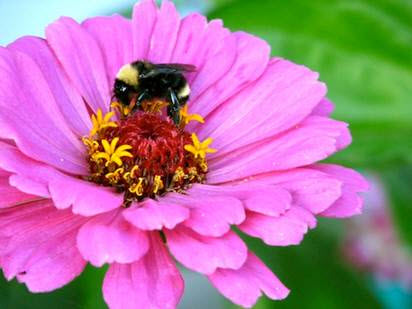 Bee on a zinnia - Great edible flowers to plant with kids