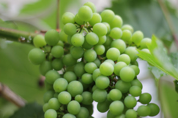Grapes new years foods around the world spain