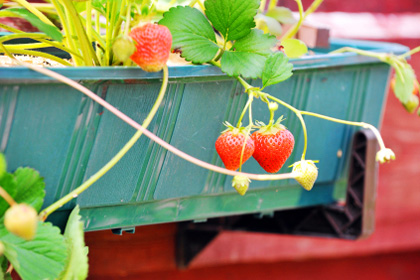 Tips for growing edibles in a container garden