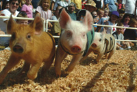 Pig races at the Evergreen State Fair