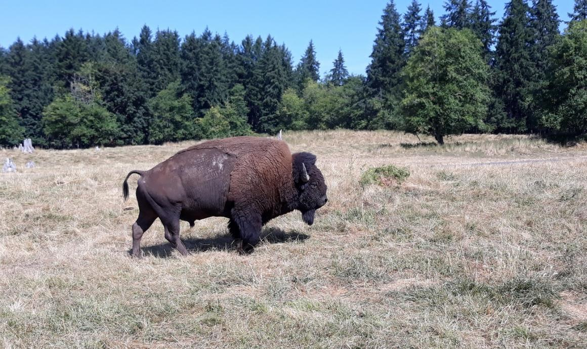 Northwest Trek keeper tour male bison private jeep tour for seattle families