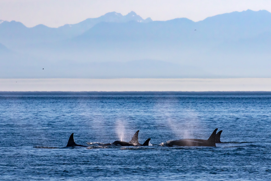 orca whales surfacing