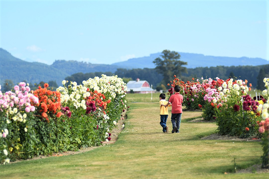 Boys strolling the dahlia gardens at Roozengaarde in Mount Vernon, Wash., with a red barn and mountains in the distance