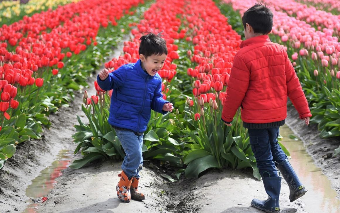 Boys frolic by the tulip fields during the 2017 Skagit Valley Tulip Festival credit JiaYing Grygiel