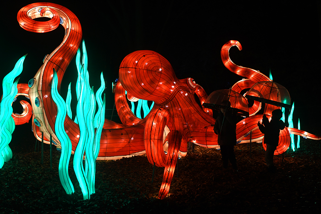 Giant octopus lantern at WildLanterns at Woodland Park Zoo Seattle holiday light show 2020