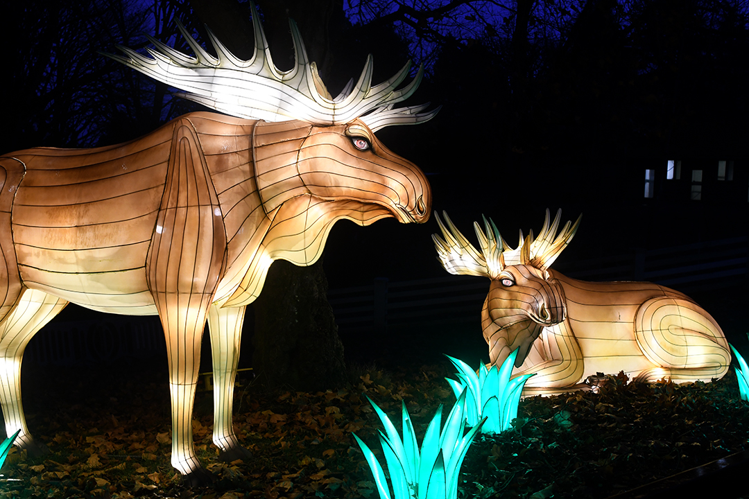 Friendly looking moose lanterns at Woodland Park Zoo's WildLanterns holiday light show 2020
