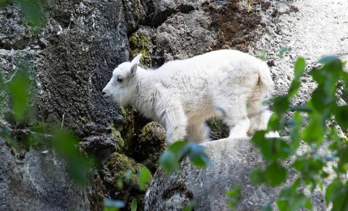 mountain goat kid woodland park zoo reopening july 1 2020 seattle