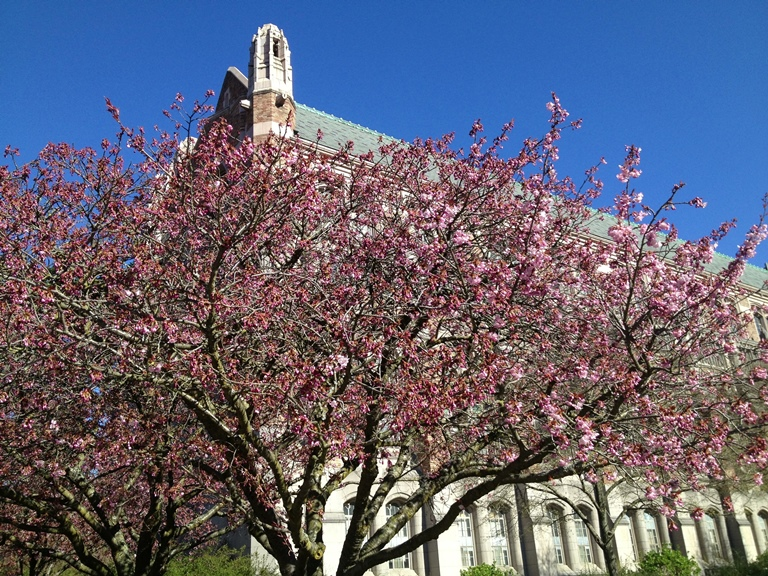 Cherry-blossoms-University-of-Washington-quad-kids-families-seattle