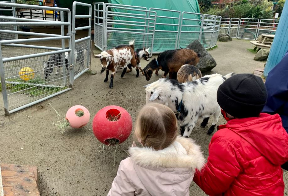 Enrichment activity for the goats at PDZA
