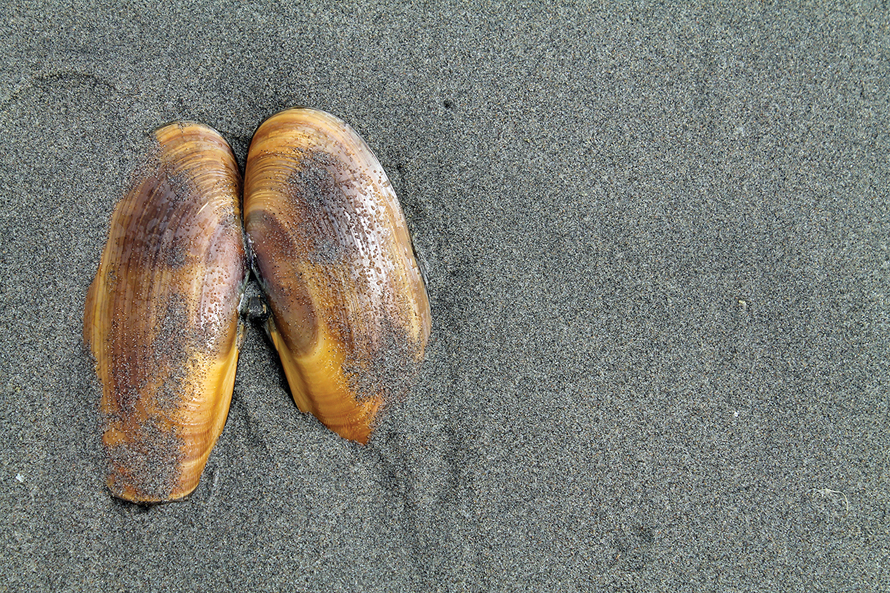 clam in sand