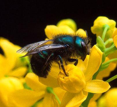 Keeping mason bees 10 expert beekeeping tips for families parentmap mason bee freerunsca Gallery