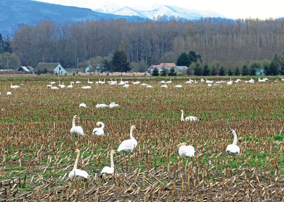 A field populated with trumpeter swans in the Skagit Valley