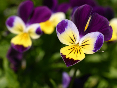Pretty and delicious 8 fun edible flowers to plant with kids violas mightylinksfo
