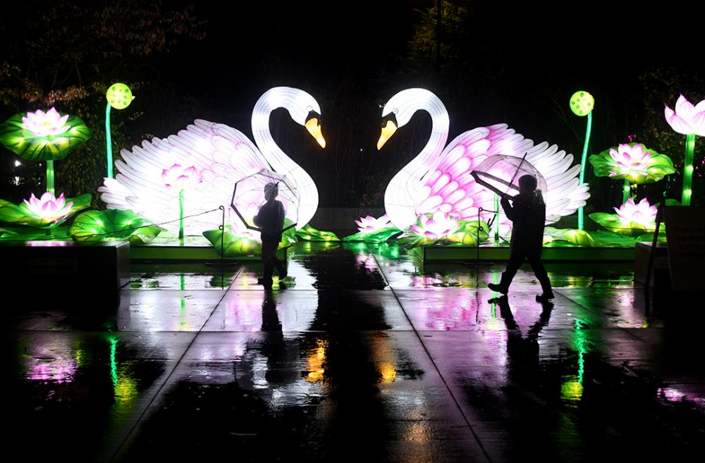 Giant white swan lanterns part of WildLanterns 2020 at Seattle's Woodland Park Zoo boys in foreground