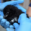Horned-puffin-chick