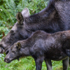 Moose-calf-with-mother-at-NW-Trek