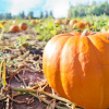 Best-pumpkin-patches-kids-families-tacoma-puyallup-olympia-south-sound
