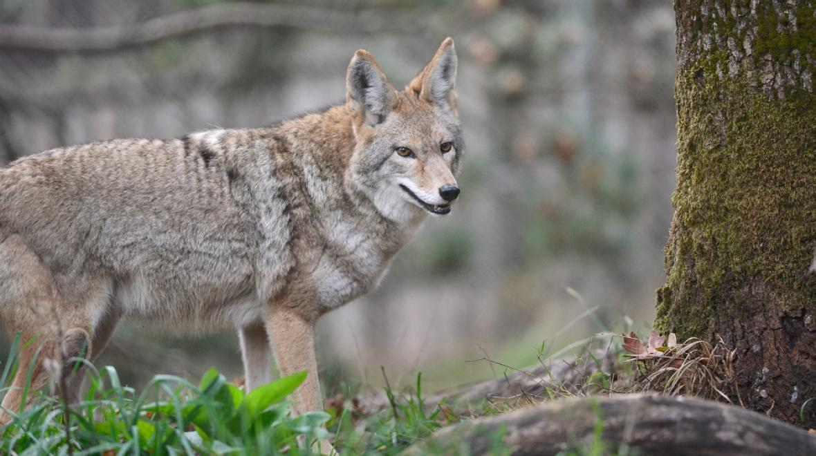 Carosal is one of the two coyotes visitors can see during their walking tour. Photo: Julie Lawrence/Wolf Haven International