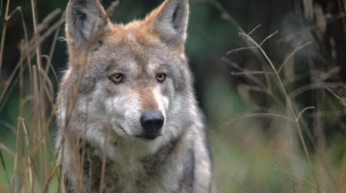 Mexican Gray wolf Gypsy sits among the prairie grass in the enclosure. Photo: Julie Lawrence/Wolf Haven