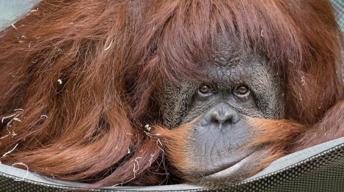 Chinta the orangutan at Woodland Park Zoo