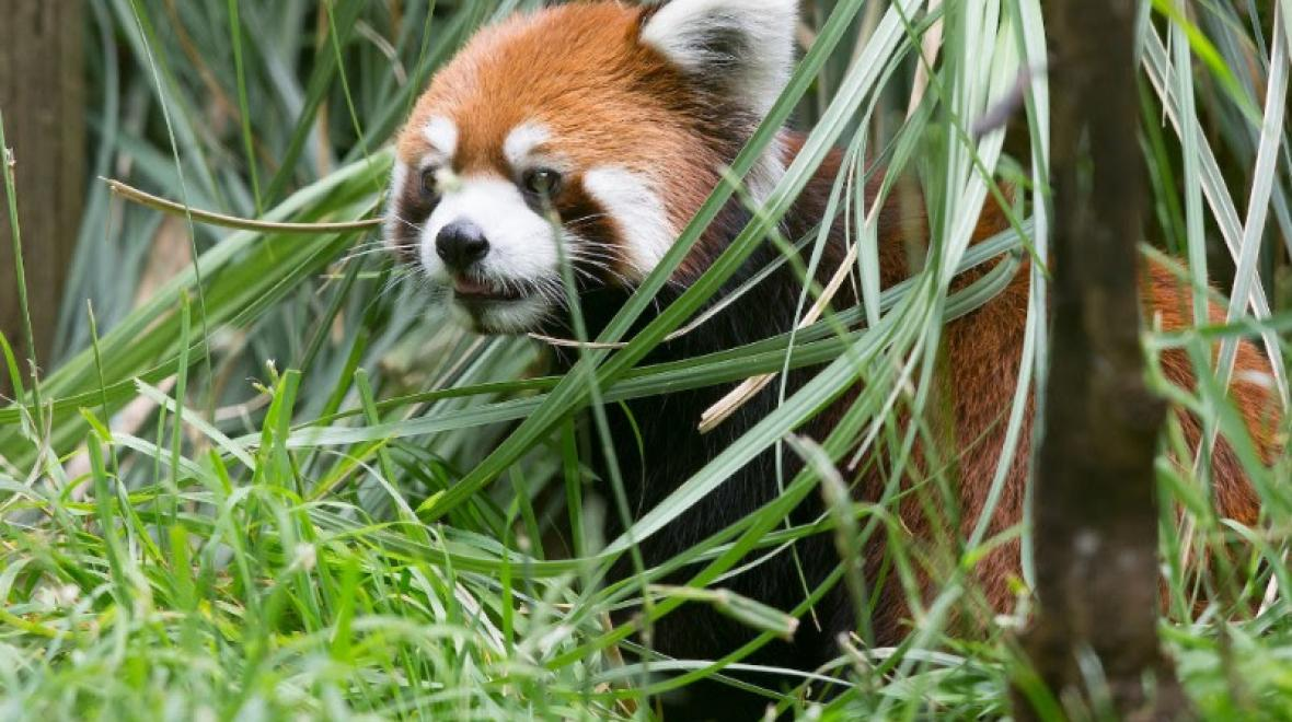 Red panda Hazel at Woodland Park Zoo