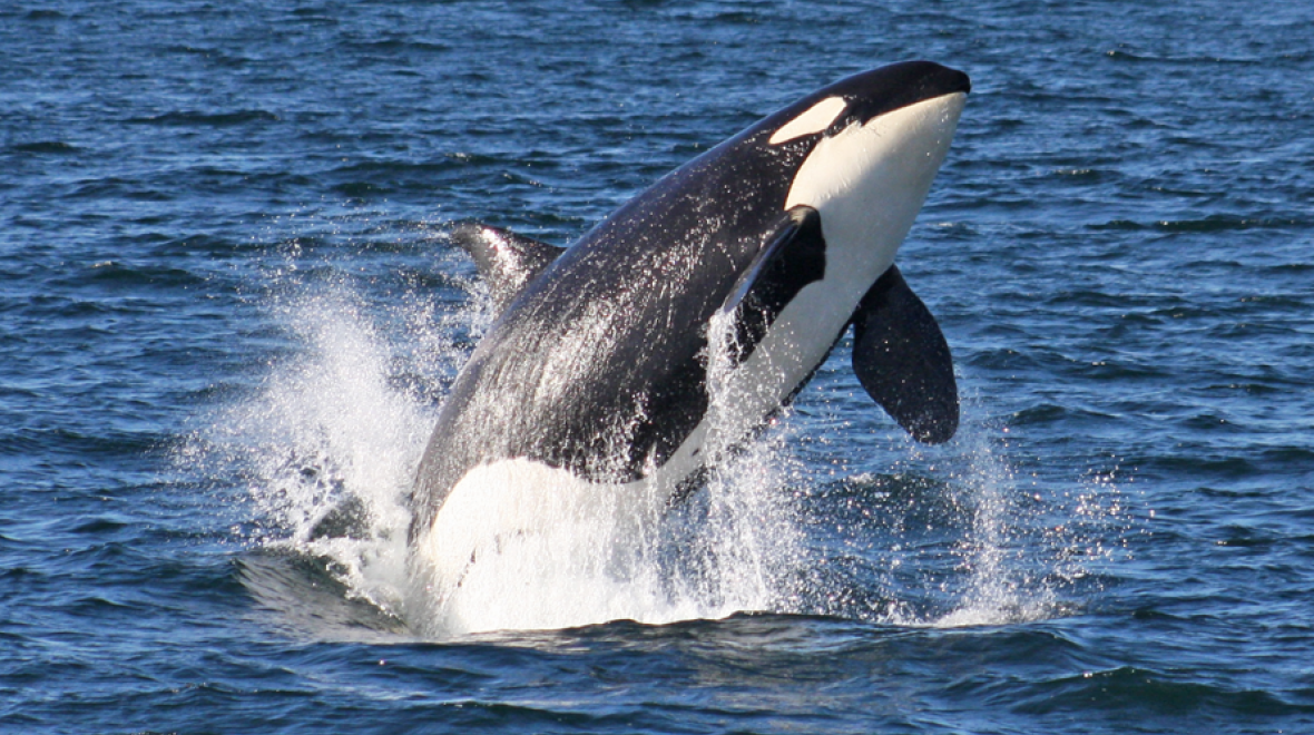 Take Your Family to Learn About (and See!) Orcas | ParentMap