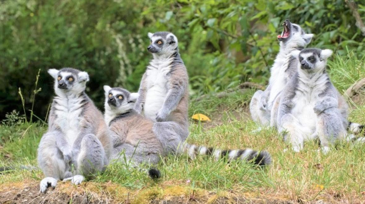 Ring-tailed lemurs at Woodland Park Zoo credit Dennis Dow