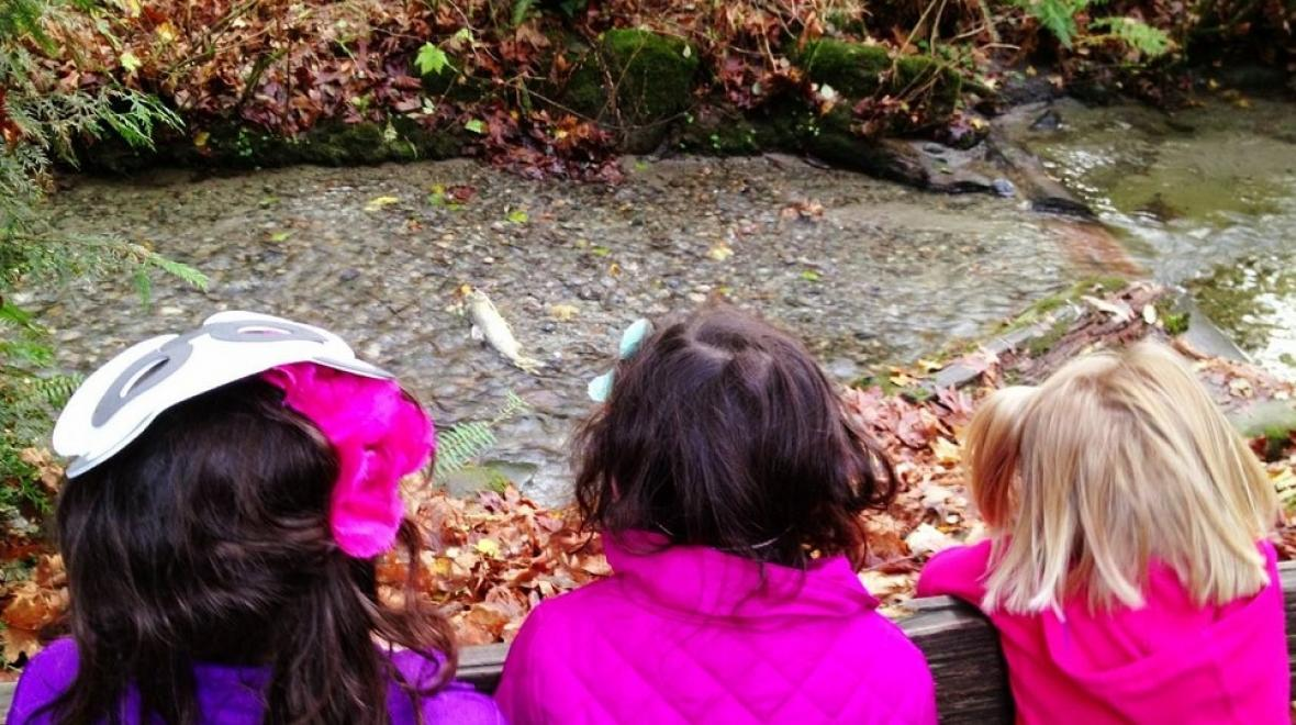Salmon spawning in Pipers Creek in Carkeek Park