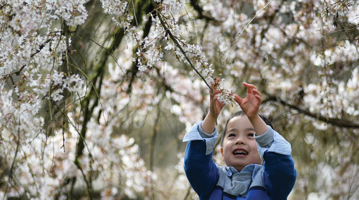 little boy with cherry blossoms
