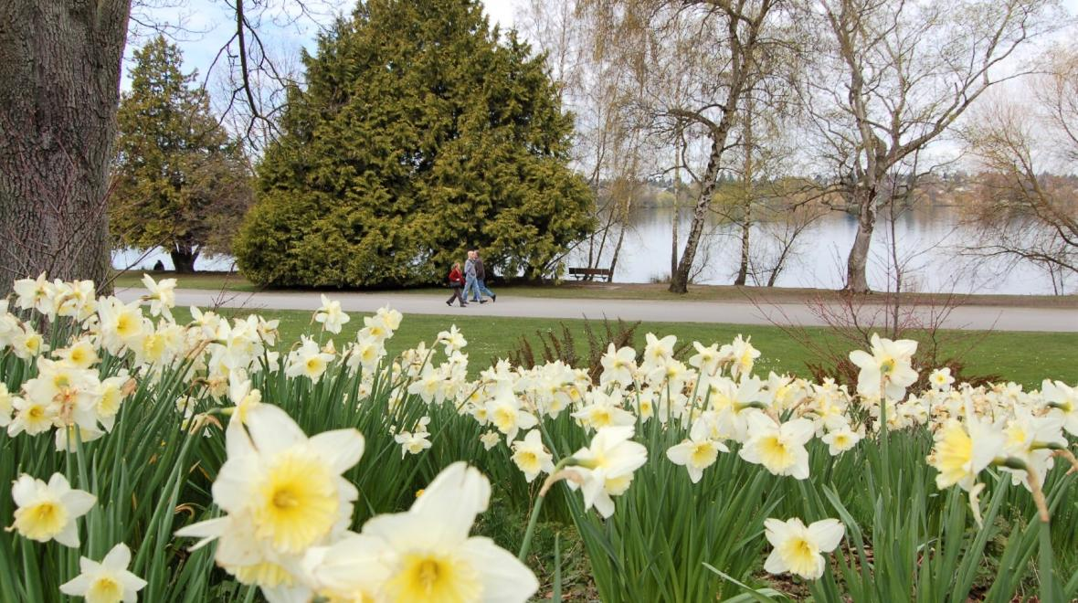walkers on the path at green lake park seattle with daffodils in the foreground
