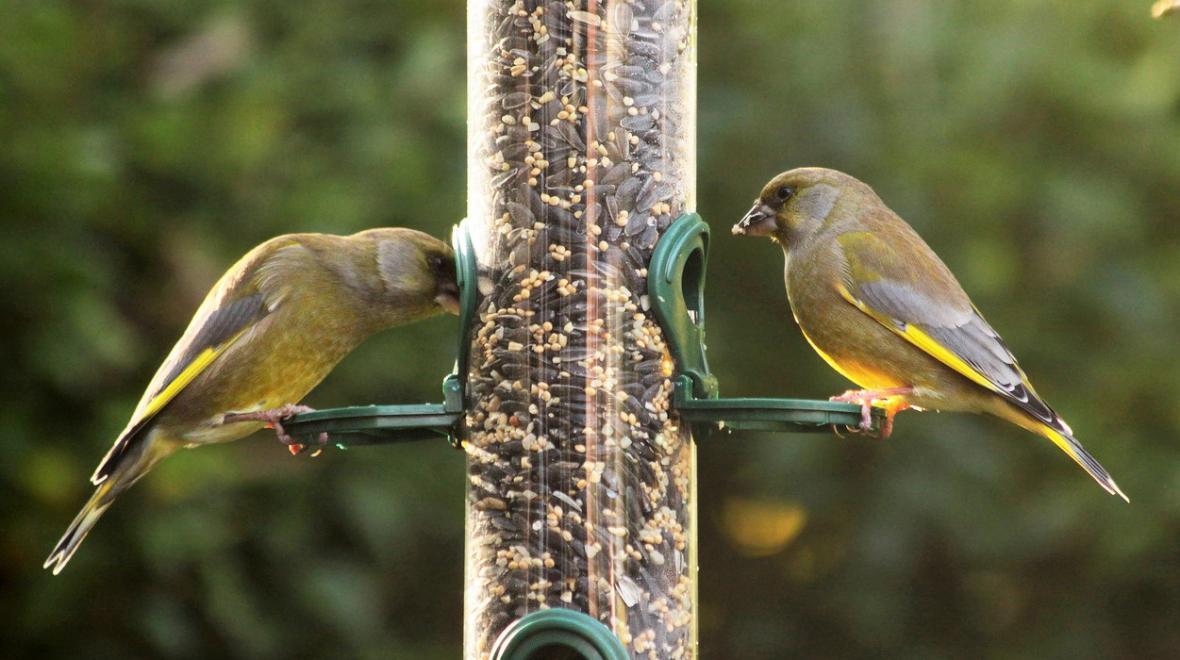 Backyard Birding: Urban Birding Guide for Seattle-Area ...