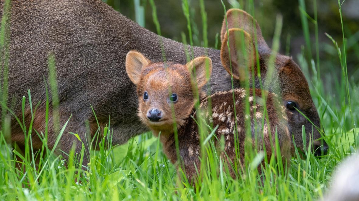 adorable pudu fawn at woodland park zoo seattle reopening after coronavirus closure summer 2020
