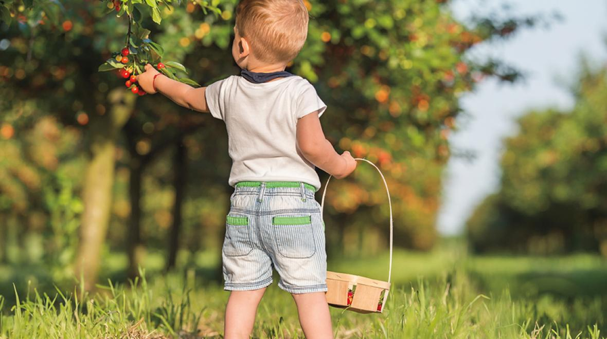 little boy picking cherries off a tree