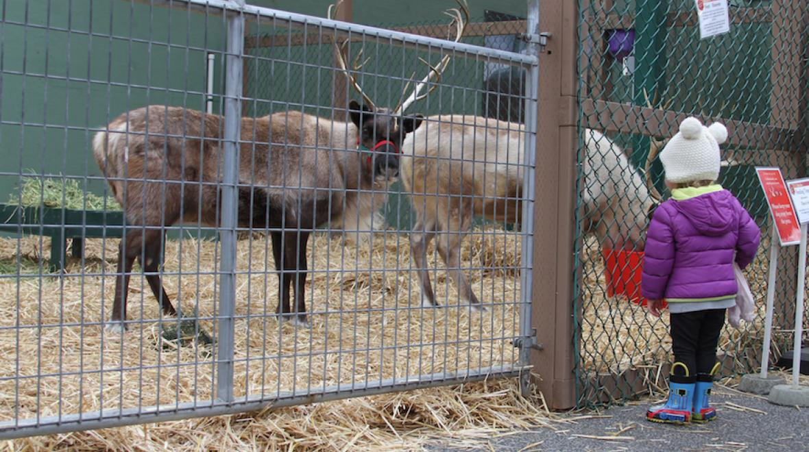 Reindeer Festival At Swansons Nursery Seattle Area Family