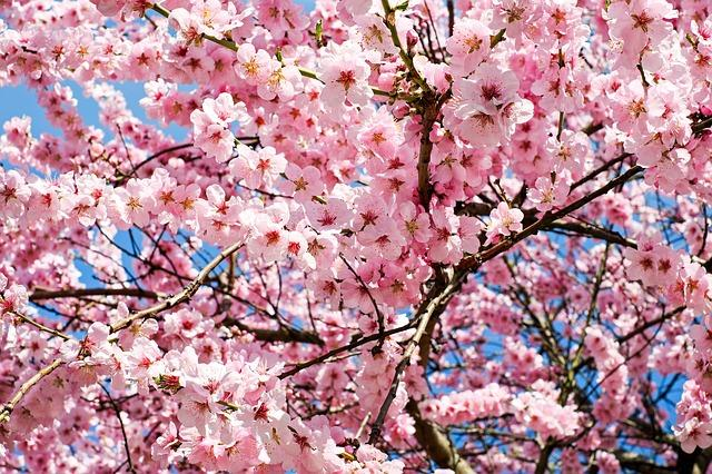 7 Places To See Cherry Blossoms And Other Blooms Around