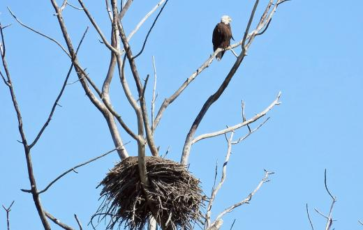 Eagle in tree above nest