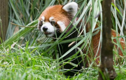 Red panda Hazel mom