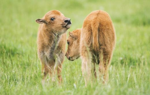 Baby bison at NW Trek