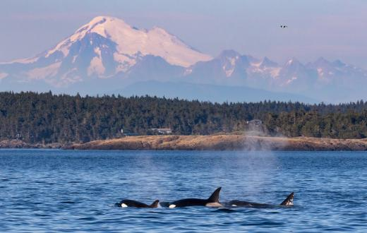 Orcas in Puget Sound courtesy San Juan Safaris credit Mark Gardner