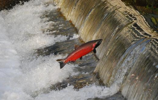 Where to see salmon spawning around Seattle and the Eastside Issaquah Salmon Hatchery