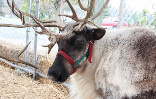 Reindeer at Watson's Nursery south sound holiday fun on a budget
