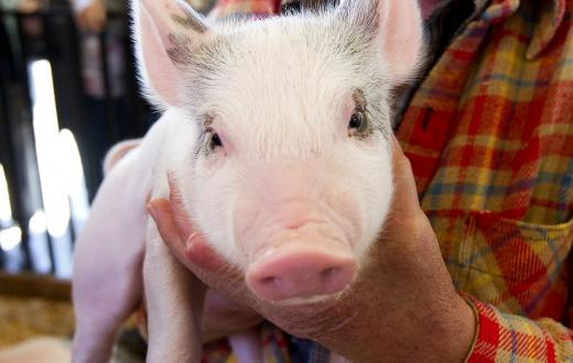 Cute-pig-animals-Washington-State-Fair-Puyallup-Fair-guide-kids-families