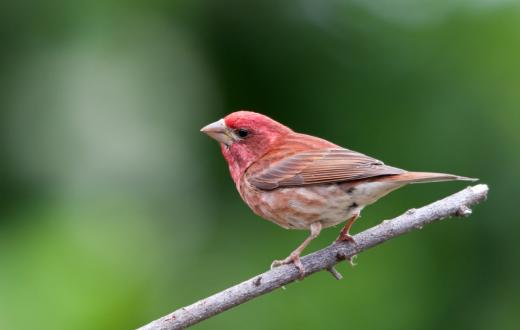 purple finch backyard birding guide for northwest kids and families seattle expert tips