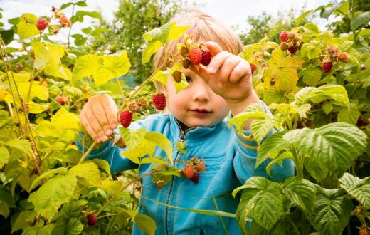 where-to-pick-raspberries-berries-u-pick-seattle-eastside-bellevue-north-sound