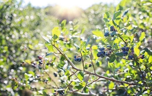 where-to-pick-blueberries-berries-u-pick-seattle-eastside-bellevue-north-sound